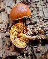 Gymnopilus bellulus (Peck) Murrill 597615.jpg