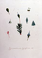 Gymnostomum pyriforme — Flora Batava — Volume v8.jpg