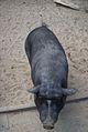 Hängebauchschwein Tiergarten Worms 2011.JPG