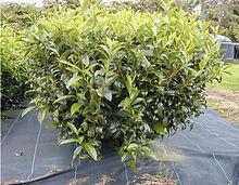 ...стали культивировать чай на острове Ява, а в 1834 году англичане - в... Камелия масличная (Camellia oleifera).