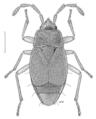 HEMI Rhyparochromidae Geratarma eylesi 1.png