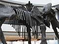 HK Central IFC mall exhibition 長毛象 Mammoth bones April-2012 腰椎 Mammal vertebrae.JPG