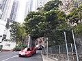 HK Mid-levels 香港半山 old Peak Road trees April 2020 SS2 03.jpg