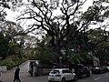 HK TST 尖沙咀 Tsim Sha Tsui 海防道 Haiphong Road trees February 2020 SS2 02.jpg