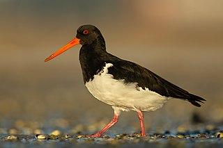 South Island oystercatcher Species of bird