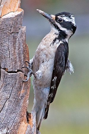 Hairy woodpecker - Female of the Great Basin race, orius, which has less white on the wings than eastern races and has cream-colored underparts