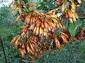 Halleria lucida, oranje newevorm, Iphithi NR, a.jpg