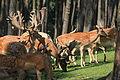 Haltern - Naturwildpark Granat - Dama dama dama 58 ies.jpg