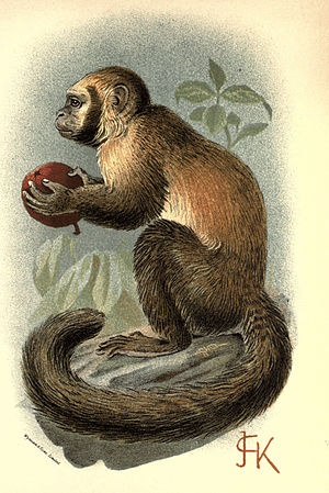 Handbook to the Primates Plate 19.jpg