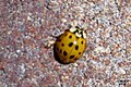 Harlequin ladybird (BG) (36799047823).jpg