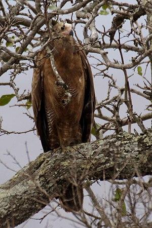 African harrier-hawk - Image: Harrier hawk