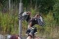 Harriss Hawk landing (7913336812).jpg