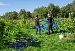 Harvesting grapes in Chateaux Luna vineyard 1.jpg