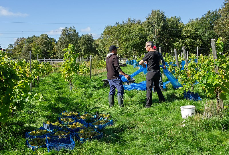 File:Harvesting grapes in Chateaux Luna vineyard 1.jpg
