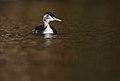 Haubentaucher (Podiceps cristatus), Parc de Woluwé, Bruxelles (24913366597).jpg