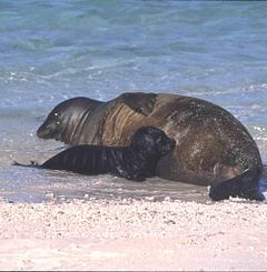 Hawaiian monk seal with pup.jpg