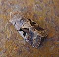 Hebrew Character. Orthosia gothica - Flickr - gailhampshire.jpg