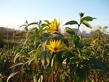 Helianthus tuberosus in Setun' River Valley2.JPG