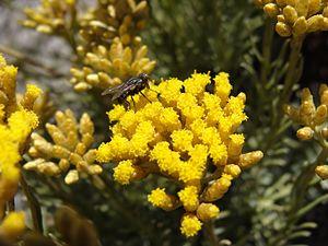 English: Helichrysum italicum spp serotinum (C...