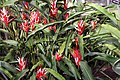 Heliconia angusta Red Holiday 3zz.jpg
