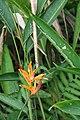 Heliconia psittacorum 34zz.jpg