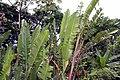 Heliconia rostrata 14zz.jpg
