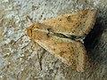 Helicoverpa armigera - Cotton bollworm - Совка хлопковая (39268955300).jpg