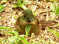 Heliodoxa rubinoides (Heliodoxa leonado) - Flickr - Alejandro Bayer (1).jpg