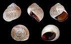 Helix melanostoma 01.JPG