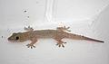Hemidactylus mabouia in Coulibistrie, Dominica c01.jpg