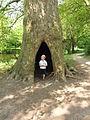 Hemmen (Overbetuwe) holle boom bij kasteelruïne.JPG