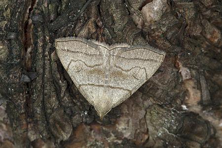 Herminia tarsicrinalis, Lodz(Poland)01(js).jpg