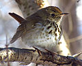 Hermit Thrush in winter.jpg