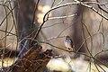 Hermit thrush (39314856745).jpg