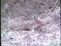 File:Herpestidae - Herpestes javanicus (Javan Mongoose).webm