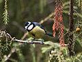 Herrerillo común (Parus caeruleus teneriffae) 3.jpg
