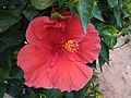 Hibiscus Rosasinensis at HAL.jpg