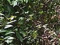 Hibiscus hispidissimus (15575083214).jpg