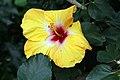 Hibiscus rosa-sinensis Jason 2zz.jpg