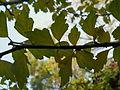 Hibiscus syriacus (8).JPG