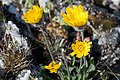Hieracium villosum-4809 - Flickr - Ragnhild & Neil Crawford.jpg