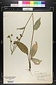 Hieracium vulgatum herbarium (02).JPG