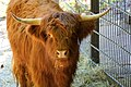 Highland cattle - Flickr - Stiller Beobachter.jpg