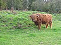Highland cow at Foxburrows Farm - geograph.org.uk - 254735.jpg
