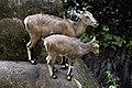Himalayan blue sheep (Pseudois nayaur), Himalayan Zoological Park, Darjeeling (8087448297).jpg