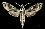 Hippotion brunnea MHNT CUT 2010 0 73 Sulawesi Palu male dorsal.jpg