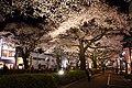 Hitachi Sakura Festival, Ibaraki 26.jpg