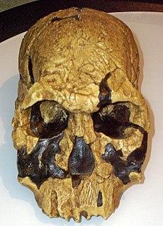 <i>Homo rudolfensis</i> species of mammal (fossil)