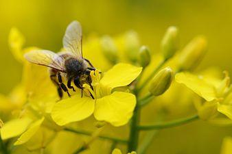 Honney bee (32048460596).jpg