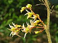 Hopea ponga flowers at Peravoor (6).jpg